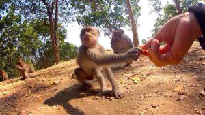 Shaking Hands with an Arrogant Wild Monkey on the Island of Lombok // Vagabonding - VINJABOND